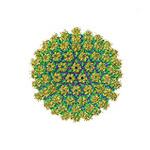 херпес симплекс, херпес вирус-2